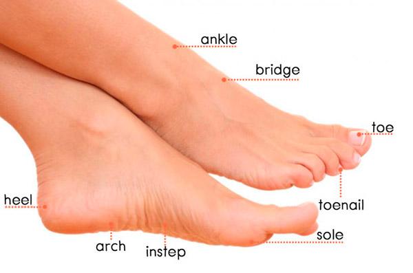 Части ноги на английском